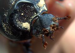Scarabaeiformia DSC_6146 (jack_246) Tags: animalia arthropoda coleoptera insecta polyphaga scarabaeoidea scarabaeiformia