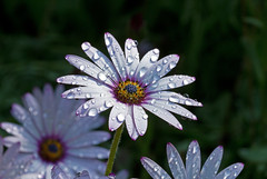UK Weather Report - Still Raining (Mukumbura) Tags: uk flowers wet water rain weather daisies petals drops still report raining miserable soggy damp flamingjune soaked osteospermum