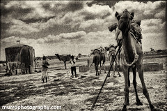 Desert (Murrophotos) Tags: india desert camels nomadic gipsies