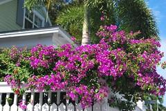 Key West (Florida) November 2011 0474b 4x6 (edgarandron - Busy!) Tags: flowers plants flower keys florida bougainvillea keywest floridakeys