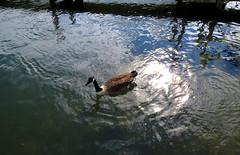 Thames Resident (Trev Earl) Tags: water canon wildlife goose riverthames henley oxfordshire elph wildbird ilobsterit