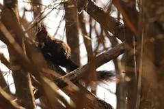 DSC_5142 (tihoslic3) Tags: wild nature squirrel raw wildlife tc20 nikond700 2014march nikor70200mm28vrll slicomir3