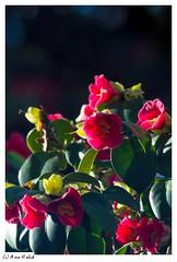 auh__MG_3975-2 (hjg-fotografie-dresden(Merlins_View_Of_Nature)) Tags: springtime fruehling kamelie