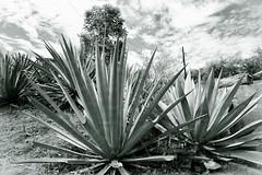Agave _1848 (hkoons) Tags: city mexico countryside town still drink farm country farming spirits soil dirt liquor oaxaca farms produce agave agriculture furrows moonshine mezcal furrow stateofoaxaca fabricademezcal