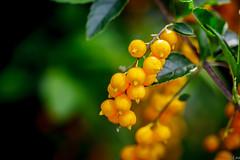 Wild Fruit (**James Lee