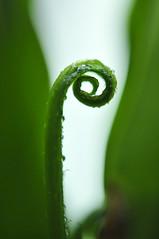 Fern (Lynn Wen (pandadd)-BUSY!) Tags: plant fern macro green nature leaves leaf spring nikon foliage 60mm naturemacro  afsmicronikkor60mmf28ged nikond300s