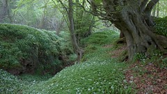 (Jon Tainton) Tags: england gloucestershire veteran beech pollard forestofdean ramsons coppice ancientwoodland scowles mineralworkings leicavarioelmarr2135354asph