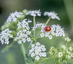 Alone at last. (Omygodtom) Tags: abstract flower macro art nature composition contrast bug insect spring woods nikon natural path trail ladybug nikkor tamron90mm d7100