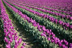 Tulip Fest (14 of 26) (evan.chakroff) Tags: flowers festival washington spring unitedstates tulips tulip april mountvernon tulipfestival mtvernon roozengaarde 2016