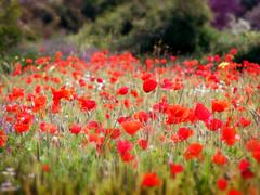 (Alin B.) Tags: flowers red nature field spring mac may meadow mai poppy poppies maci alinbrotea