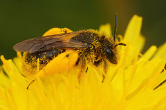 Andrena humilis, female (henk.wallays) Tags: