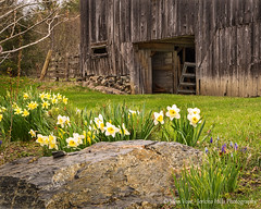 Spring Renewal (Jericho Hills Photography) Tags: wood old flowers building texture beautiful stone architecture barn rural vintage wooden spring decay farm character rustic barns newengland structure historic faded daffodills backdrop weathered aged agriculture simple aging ruraldecay oldwood decaying springtime bucolic doorframe rundown oldbarn disrepair newgrowth barnwood newhampshite johnvose jerichohillsphotography