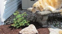 Sunny 22/52 (Lianne (calobs)) Tags: dogs goldenretriever for weeks 52