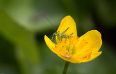 (Pho2s4me) Tags: norway no akershus insekt gresshoppe gulblomst sauejordet