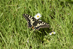 Swallowtail 2 (PhilDL) Tags: uk nature butterfly nikon britain norfolk butterflies lepidoptera fen swallowtail marshlands rspb strumpshaw fenlands naturereserves ukbutterflies britishbutterflies britishlepidoptera ukwildlifetrusts britishbutterflyconservation