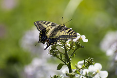 Swallowtail 3 (PhilDL) Tags: uk nature butterfly nikon britain norfolk butterflies lepidoptera fen swallowtail marshlands rspb strumpshaw fenlands naturereserves ukbutterflies britishbutterflies britishlepidoptera ukwildlifetrusts britishbutterflyconservation