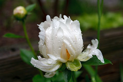 Rain-soaked Arboretum (Karol A Olson) Tags: white flower rain dc washington spring nationalarboretum may16