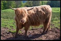 Obligatory Highland Cow Photo (zweiblumen) Tags: scotland alba livestock highlandcattle isleofarran highlandcow polariser brodickcastle northayrshire bostaurus eileanarainn canoneos50d zweiblumen breadhaig