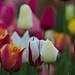 Tulips :-)