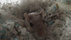 GOPR0132 (Lanny91) Tags: pet gerbil gopro goprohero3