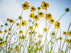 PhoTones Works #7884 (TAKUMA KIMURA) Tags: plant flower nature yellow japan landscape scenery air olympus jp    cosmos   okayama kimura     sulphureus takuma  a01    photones