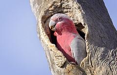 nesting galah 1.0 (Fat Burns  (gone bush)) Tags: bird nature fauna parrot galah australianbird eolophusroseicapillus barcaldine australianfauna nikond610 sigma150600mmf563dgoshsmsports