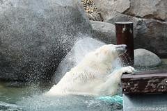 Ijsberen, Wildlands-7541 (Josette Veltman) Tags: zoo arctic ijsbeer icebear emmen dierentuin icebears noordpool roofdier wildlands ijsberen