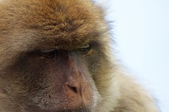 Barbary Macaque (sophiehep) Tags: monkey furry ape macaque barbary gibralta