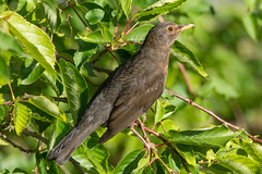 Blackbird (Shane Jones) Tags: bird nikon wildlife blackbird gar tc14eii 200400vr d7200