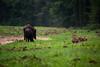 Young ones (Theo Bauhuis) Tags: wild nature netherlands wildlife nederland natuur boar regen zwijn loenen everzwijn gelders
