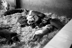 Sleeping sausages (tercrossman87) Tags: film home kodak olympus epson 100 35 development rd v550 xtol foma fomapan kodakxtol film:iso=100 fomafomapan100 developer:brand=kodak film:brand=foma developer:name=kodakxtol film:name=fomafomapan100 filmdev:recipe=10821