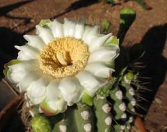 Saguaro Blossom (zoniedude1) Tags: arizona cactus flower nature phoenix cacti spring desert blossom flowering buds saguaro blooming transplant saguarocactus flowerbuds carnegieagigantea itlives zbg saguaroblossom zoniedude1 canonpowershotg12 armbud desertspring2016