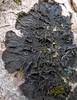 Collema furfuraceum on sycamore (aburgh) Tags: blsfieldmeeting scotland isleofskye lichen cyanolichen corticolous foliose collema