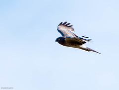 Northern Harrier, Monchy Woods Road (frank.king2014) Tags: ca canada gander northernharrier newfoundlandandlabrador