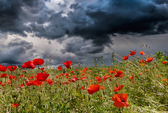 spring in Germany 2016 (hgviola ) Tags: red storm rot nature weather 35mm germany rouge deutschland spring nikon flood natur sigma poppies d750 thunderstorm climatechange wetter frhling hagel mohn badenwrttemberg unwetter starkregen klimawandel berflutung explored sigmaart hgviola