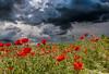 spring in Germany 2016 (hgviola ♫) Tags: red storm rot nature weather 35mm germany rouge deutschland spring nikon flood natur sigma poppies d750 thunderstorm climatechange wetter frühling hagel mohn badenwürttemberg unwetter starkregen klimawandel überflutung explored sigmaart hgviola
