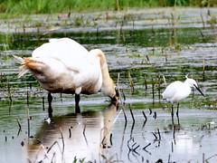 The odd couple. (pstone646) Tags: lake nature birds animals fauna reflections kent swan grove wildlife egret stodmarsh