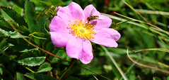 flower and bug at cape spear (postmand_b) Tags: pink canada flower bug insect blomst insekt capespear easternpoint lyserød