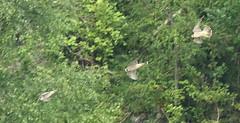 Morning Exercise - Tail Chase (Robin M Morrison) Tags: gorge juvenile avon peregrine peregrinefalcon
