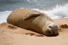 Monk Seal (Polybozologist) Tags: monkseal hawaii molokai beach