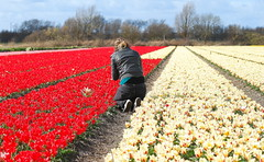 The photographer in action! (Paul Rosenhart) Tags: red nikon tulip bulbs rood bollen noordwijkerhout tulp bulbfield bollenvelden icapture d80 ringexcellence flickrstruereflection1