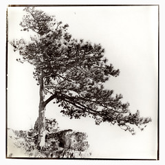 Schirmfhre (thomagraphy) Tags: tree 6x6 nature analog print thomas 4x5 100 baum fabriano alternate acros artistico heckmann altprocess kallitype beseler 64asa fo5 kallitypie wephota fuckingscannercolorshifts