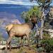 Grand Canyon Nat Park: Elk Browsing in Fall: 0009