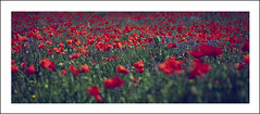 Poppies (mariajo12) Tags: poppies amapolas campodeamapolas