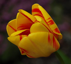 RED AND YELLOW (ikan1711) Tags: flowers yellow petals spring blossoms tulip blooms springflowers beautifulflowers springblossoms springblooms largeflowers beautifulpetals allflowers stripedtulips springpetals yellowredtulips