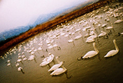 swan lake (Hodaka Yamamoto) Tags: xpro crossprocessed xprocess doubleexposure crossprocess double multipleexposure crossprocessing doubles lasardina