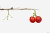 樱桃 Cherry (kuula2000) Tags: china flowers color art nature beautiful cherry photo nikon bravo explore yunnan flickrsmileys aplusphoto d700