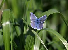 Azzurro (lincerosso) Tags: butterflies azzurro colori insetti polyommatusicarus farfalle licebidi
