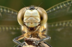 Portrait of dragonfly (Shin-Nagoya) Tags: portrait macro japan closeup bug insect dragonfly nagoya 60mm  aichi gettyimages   compoundeye gettyimagesjapan12q4