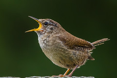 The Voice (Andy Morffew) Tags: singing hampshire bbc wren thevoice itchenabbas naturethroughthelens birdperfect blinkagain andymorffew morffew voteforbritainsnationalbird wwwbbccomearth